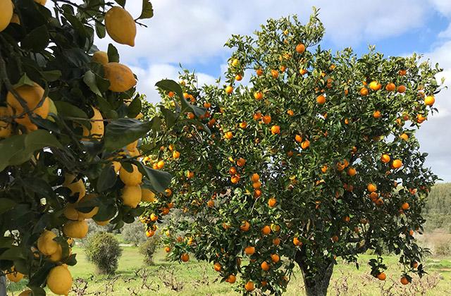 Lemon and Orange Trees